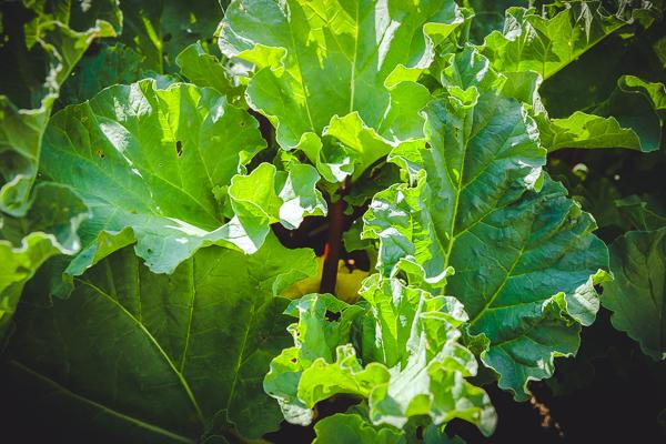 Rhubarb Ensay_for_slider